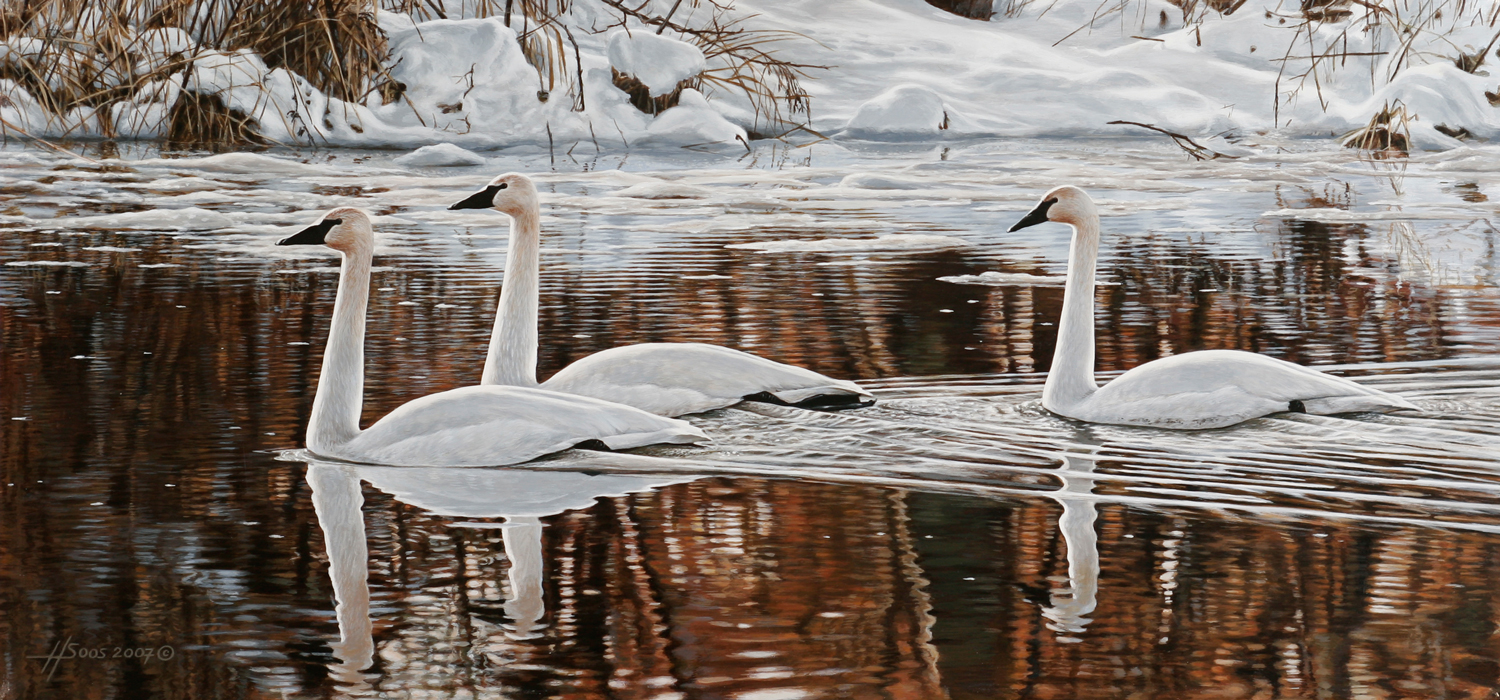 Winter Whites on Water - Trumpeter Swan