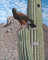 Desert Monarchs – Harris's Hawk and Saguaro