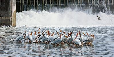 Pelican Paradise -  </br>Lockport Dam