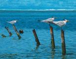 Caribbean Afternoon<br> - Royal Terns