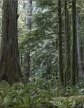 Forest of Giants - Cathedral Grove