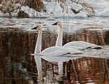 Winter Whites on Water <br> - Trumpeter Swan